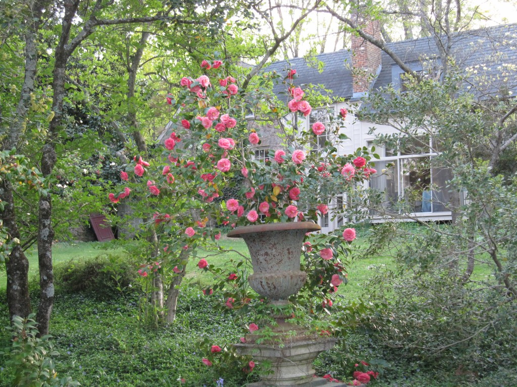 Camellia japonica in April