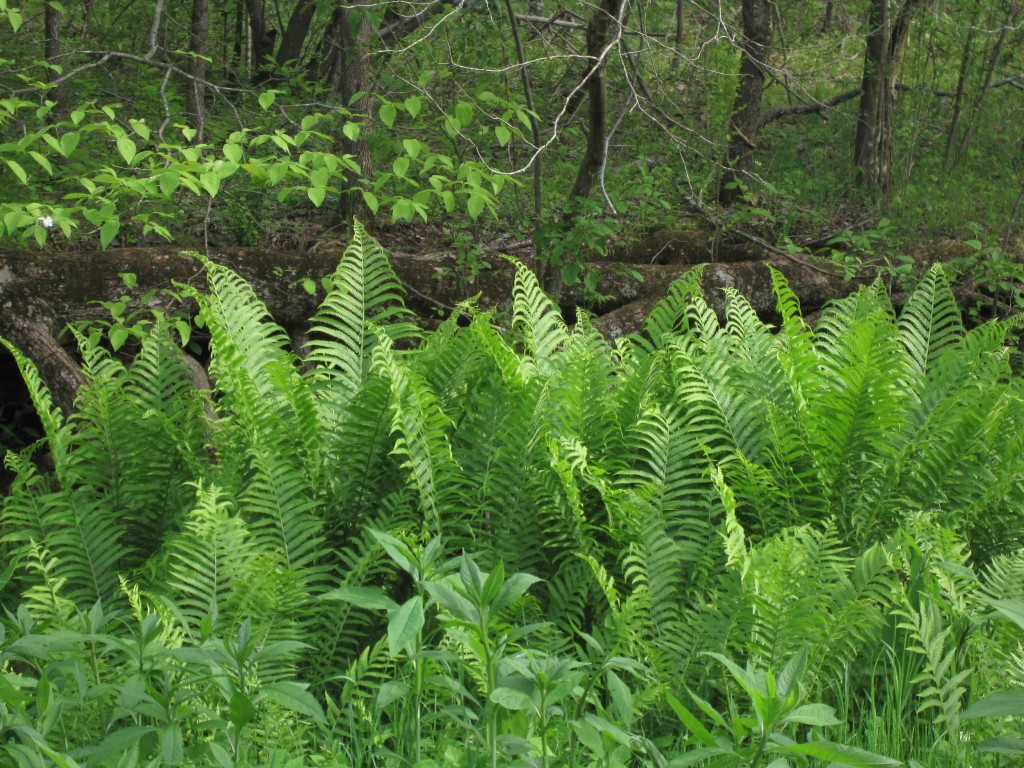 New York Ferns by creek