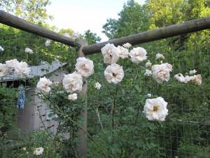 'Penny Lane' climbing rose