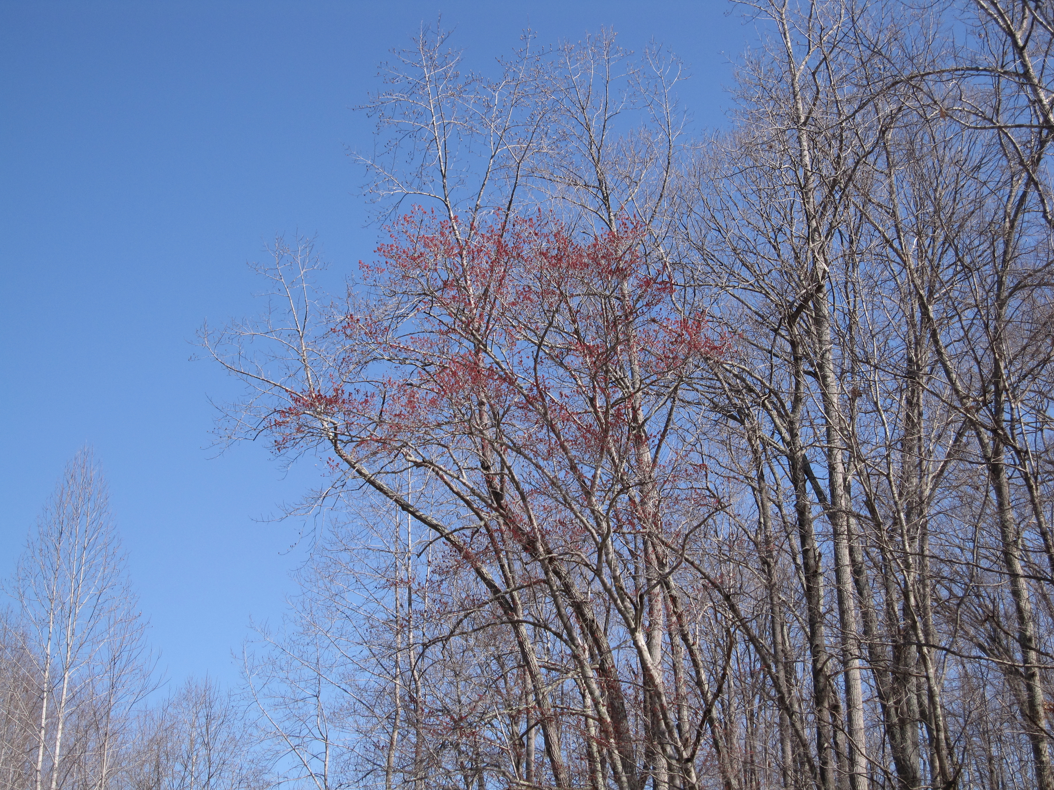 Red Maple blooms in hollow.
