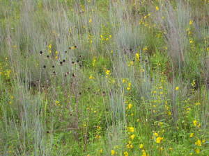 Little bluestem, partridge pea and rudbeckia, Murray Morris Meadow