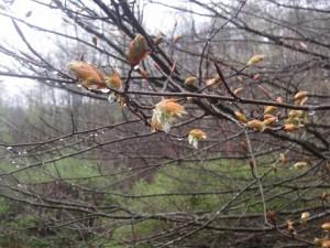 American beech/Fagus grandifolia