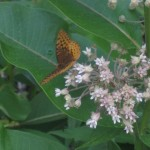 Fritillary and Milkweed